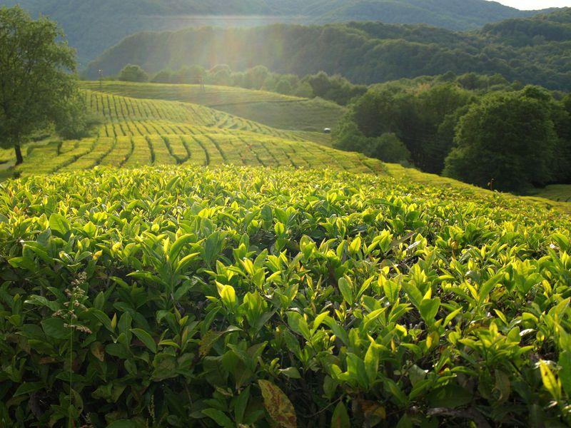 Курортный Сочи: Мацеста, чайная плантация иэкоферма - экскурсия в Сочи