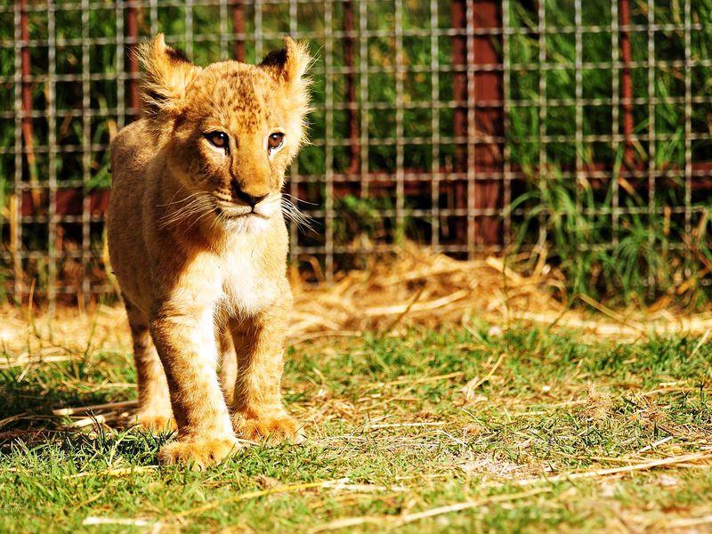 Сафари-парк «Тайган»: территория львов - экскурсия в Севастополе